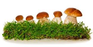被隔绝的五个porcini蘑菇 免版税库存图片
