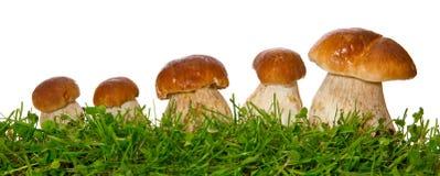 被隔绝的五个porcini蘑菇 免版税库存照片