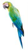 被隔绝的五颜六色的绿色鹦鹉金刚鹦鹉 免版税库存图片