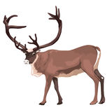 被隔绝的传染媒介大驯鹿 免版税库存图片