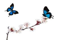 被隔绝的佐仓绽放和两只蓝色蝴蝶 免版税库存图片