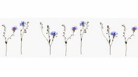 被隔绝的变干的矢车菊拼贴画进展与勿忘草在白色背景的花词根 免版税库存照片