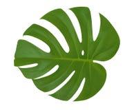 被隔绝的叶子Monstera植物白色背景 异乎寻常的热带棕榈树 免版税库存图片