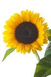 被隔绝的向日葵 库存图片