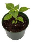 被隔绝的哈瓦那人胡椒盆的植物 免版税库存图片