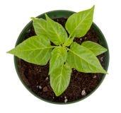被隔绝的哈瓦那人胡椒盆的植物 免版税图库摄影