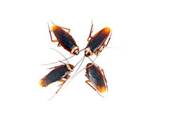 被隔绝的四只蟑螂。 免版税库存照片