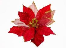 被隔绝的圣诞节花。大戟属Pulcherrima 库存图片