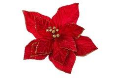 被隔绝的圣诞节花。大戟属Pulcherrima 图库摄影