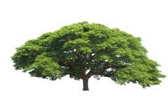 被隔绝的大树,共同的名字:saman,雨豆树, monkeypod,美国兵 图库摄影