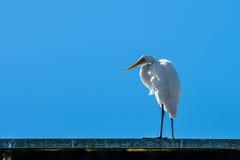 被隔绝的大白色鸟 免版税图库摄影