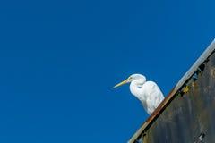 被隔绝的大白色鸟 库存图片