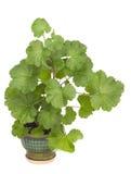 被隔绝的大竺葵年幼植物 免版税库存照片
