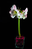 被隔绝的孤挺花Hippeastrum兰花 库存照片