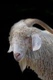 被隔绝的安哥拉猫山羊 免版税库存照片