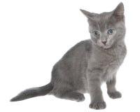 被隔绝的小灰色短发小猫开会 免版税库存照片
