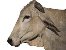 被隔绝的布朗母牛 免版税库存照片