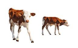 被隔绝的幼小小牛 免版税库存照片
