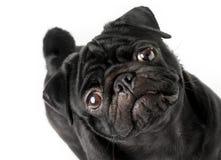 被隔绝的幼小黑哈巴狗狗 免版税图库摄影