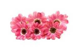被隔绝的开花的桃红色瓜叶菊 库存图片