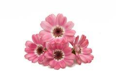 被隔绝的开花的桃红色瓜叶菊 库存照片