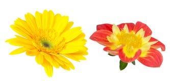 被隔绝的德兰士瓦雏菊和大丽花 免版税库存图片