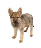 被隔绝的德国牧羊犬小狗 库存照片