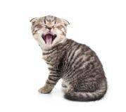 被隔绝的打呵欠的小猫 免版税库存图片