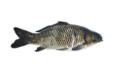 被隔绝的新鲜的鲤鱼鱼 免版税库存照片