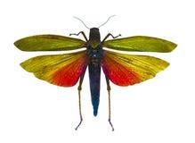 被隔绝的昆虫蝗虫 免版税库存图片