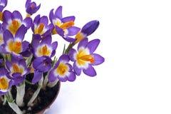 被隔绝的春天紫色番红花 库存照片