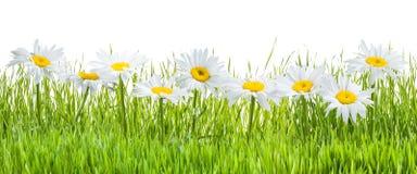 被隔绝的春黄菊花和草 图库摄影
