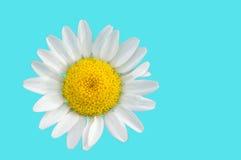 被隔绝的春黄菊 库存照片
