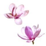 被隔绝的木兰花的例证  库存图片