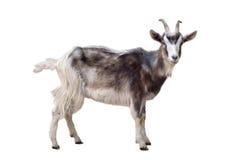 被隔绝的杂色的山羊 免版税库存照片