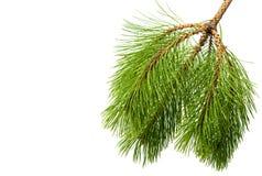 被隔绝的杉木枝杈 图库摄影