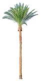 被隔绝的枣椰子树 免版税库存照片