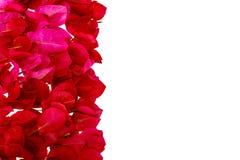 被隔绝的桃红色九重葛瓣。 免版税库存照片