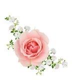 被隔绝的桃红色和白玫瑰 免版税库存照片