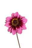 被隔绝的桃红色和紫色大丽花花 免版税图库摄影