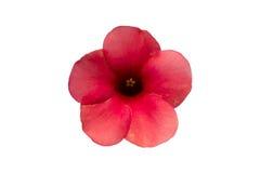 被隔绝的桃红色杜娟花花 库存图片