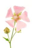 被隔绝的桃红色锦葵属 免版税库存照片