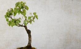 被隔绝的桦树 免版税库存图片