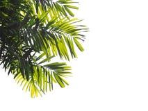 被隔绝的棕榈叶 免版税库存照片