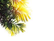 被隔绝的棕榈叶 库存图片