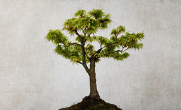 被隔绝的槭树 图库摄影