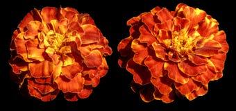 被隔绝的橙黄色异乎寻常的花四季不断的翠菊 库存照片