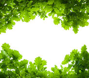被隔绝的橡树叶子 免版税库存图片