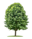 被隔绝的欧洲七叶树树 免版税库存照片