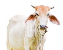 被隔绝的母牛 库存图片